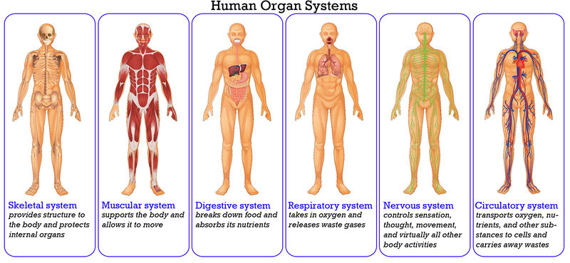 How Does the Respiratory System Work With Other Systems? | New ...