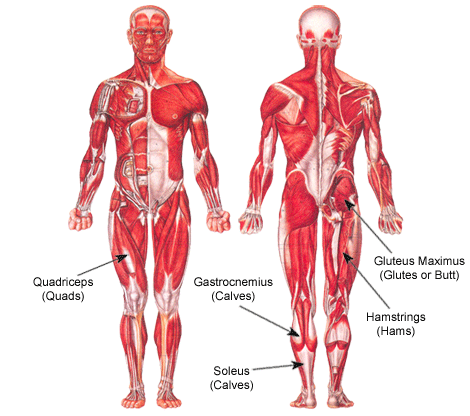 lower extremity anatomy: parts and functions | new health advisor, Skeleton