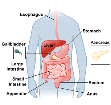 how does digestive system function? | new health advisor, Human Body