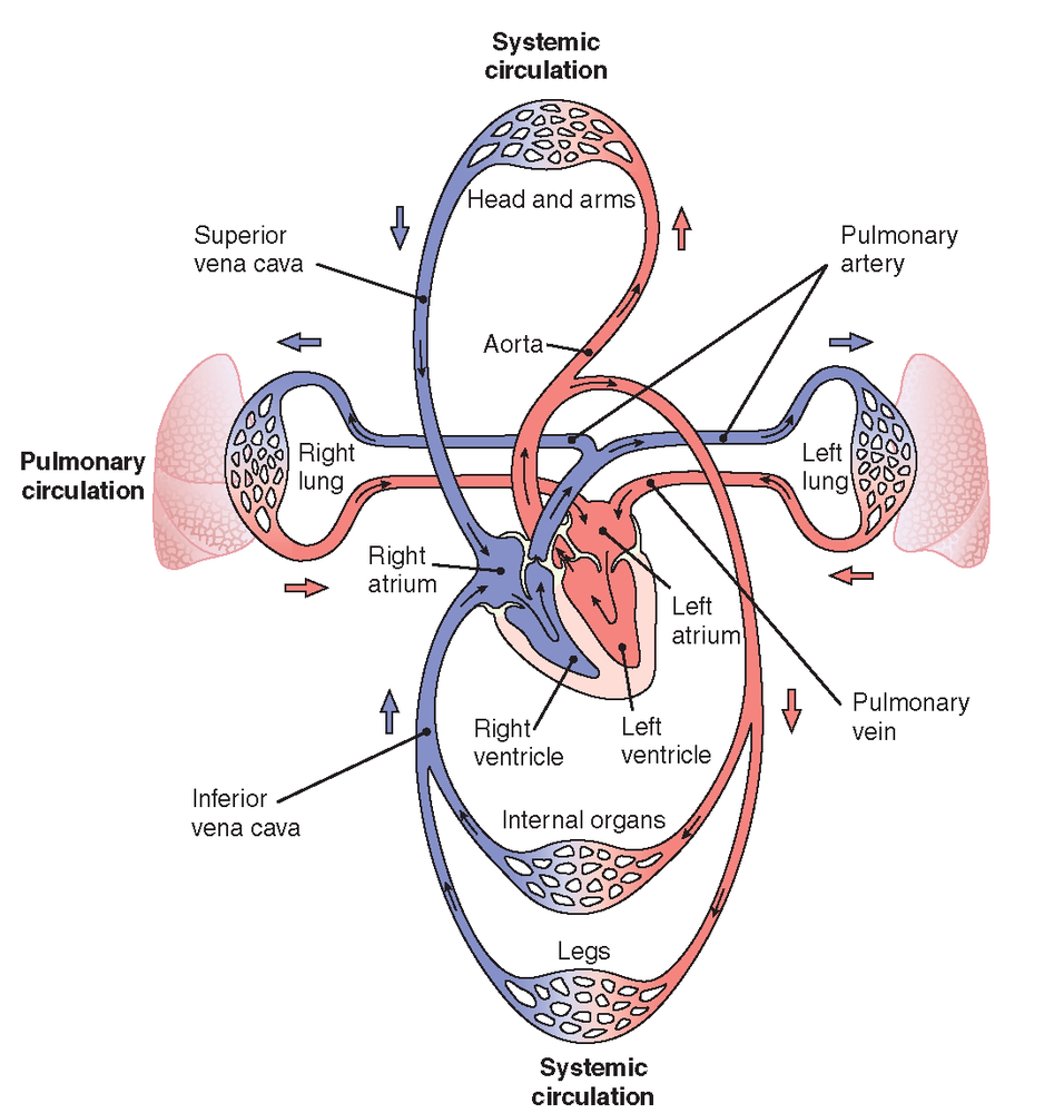 What is the difference between pulmonary circulation and systemic what is the difference between pulmonary circulation and systemic circulation pooptronica Choice Image