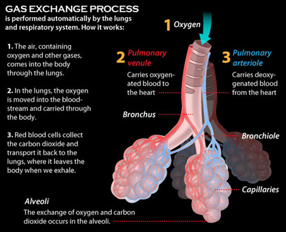 Respiratory System Organs and Their Functions | New Health Advisor