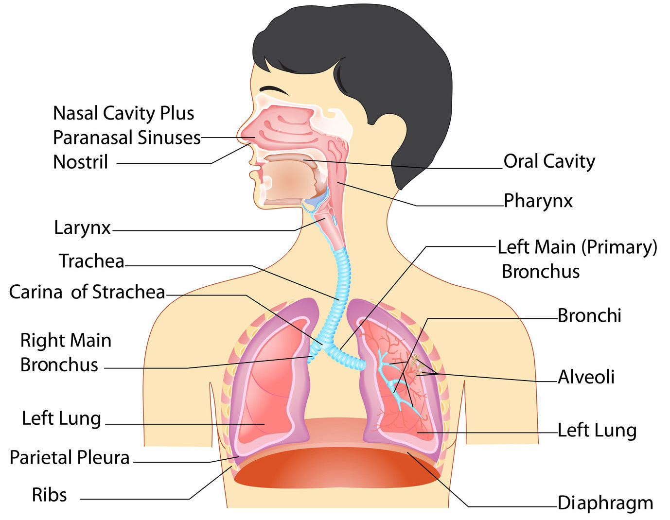 Respiratory system organs and their functions new health advisor anatomy of respiratory system organs and functions ccuart Image collections