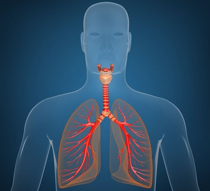 fun facts about the respiratory system | new health advisor, Muscles