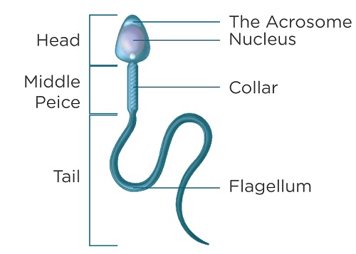 Mobility of precum sperm