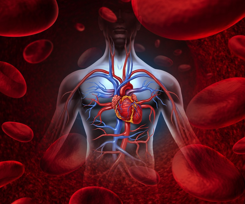 Organs Of Circulatory System And Their Functions New Health Advisor
