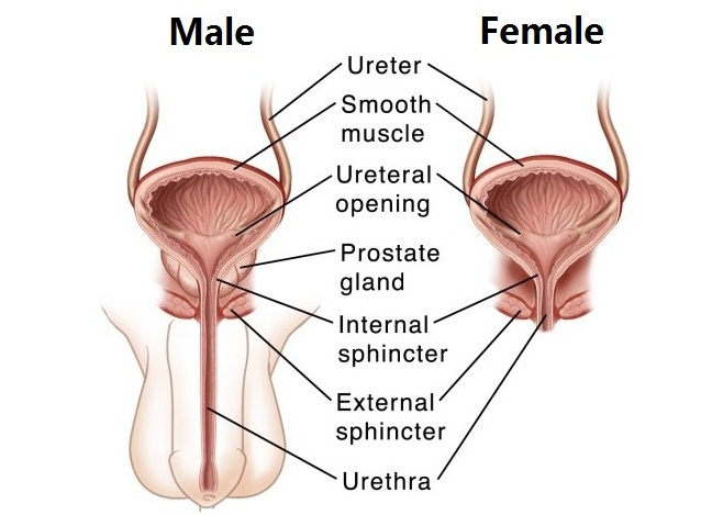 organs in the excretory system and their functions | new health, Cephalic Vein