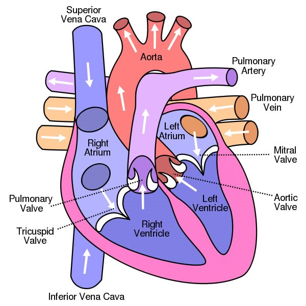 Diagram of Human Heart and Blood Circulation in It | New Health ...