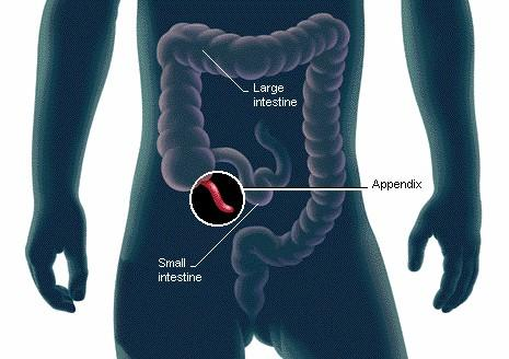 where is the appendix located? | new health advisor, Human Body