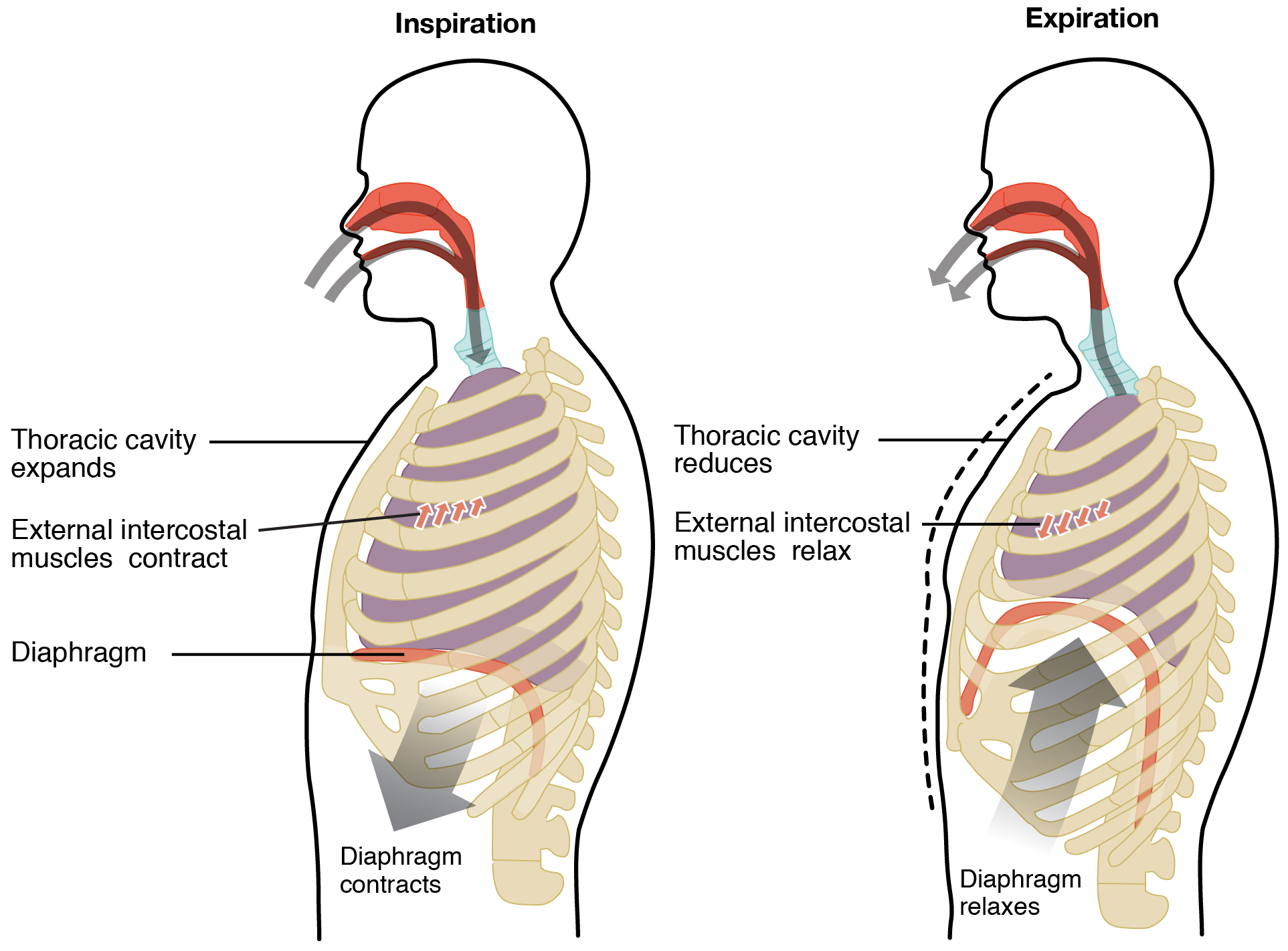 Lung functions and control of breathing