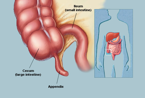 5 Main Components In Large Intestine And Their Functions