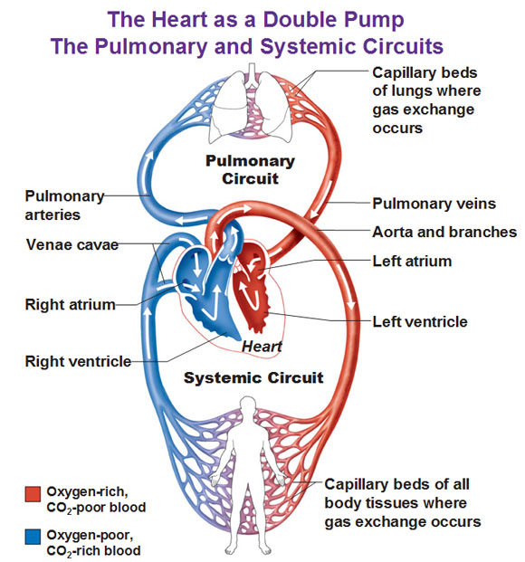 Pulmonary Circuit: Definition & Pathway - Video & Lesson ...