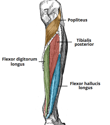 muscles of the lower leg: anterior, posterior & lateral | new, Human Body