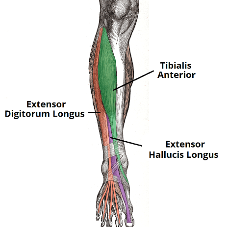 muscles of the lower leg anterior posterior amp lateral