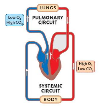 Diagram of double circulation auto wiring diagram today double circulatory system explained with video new health advisor rh newhealthadvisor com diagram of double circulation in man diagram of double circulation ccuart Gallery