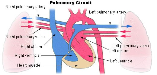 Pulmonary Circulation Route and Process New Health Advisor