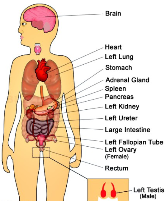 What Organs Are on the Left Side of the Body? | New Health Advisor
