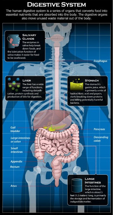 most common digestive system diseases | new health advisor, Muscles