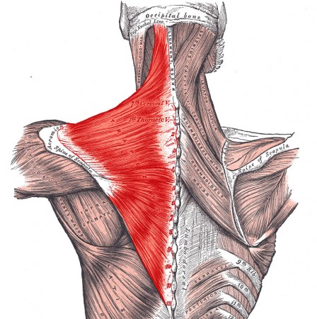 Three Groups Of Muscles Of The Shoulder With Pictures New Health