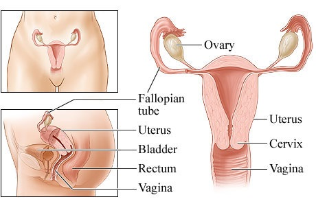 11 main female reproductive system diseases you should know | new, Muscles