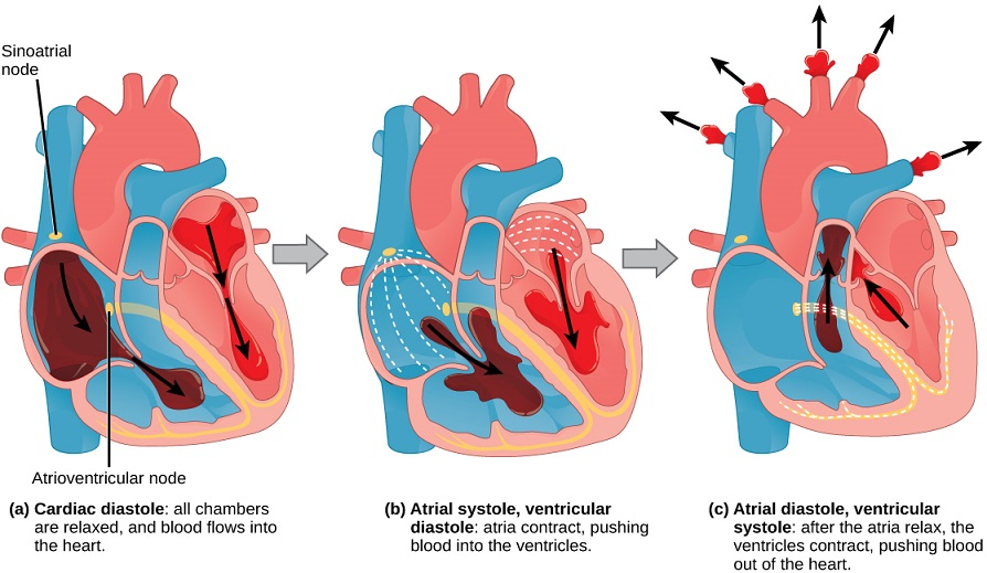 Know the structures and functions about your heart new health this is accomplished by a series of contractions systole and relaxation diastole of the heart muscle which occurs in a rhythmic or cyclic pattern ccuart