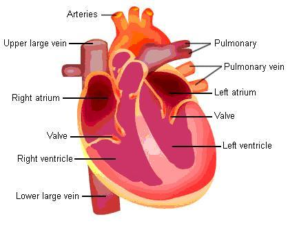 Know the structures and functions about your heart new health advisor heart structure ccuart Gallery
