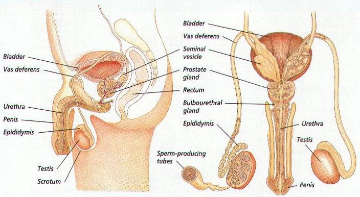 The Front View Of Male Reproductive System And More New Health Advisor
