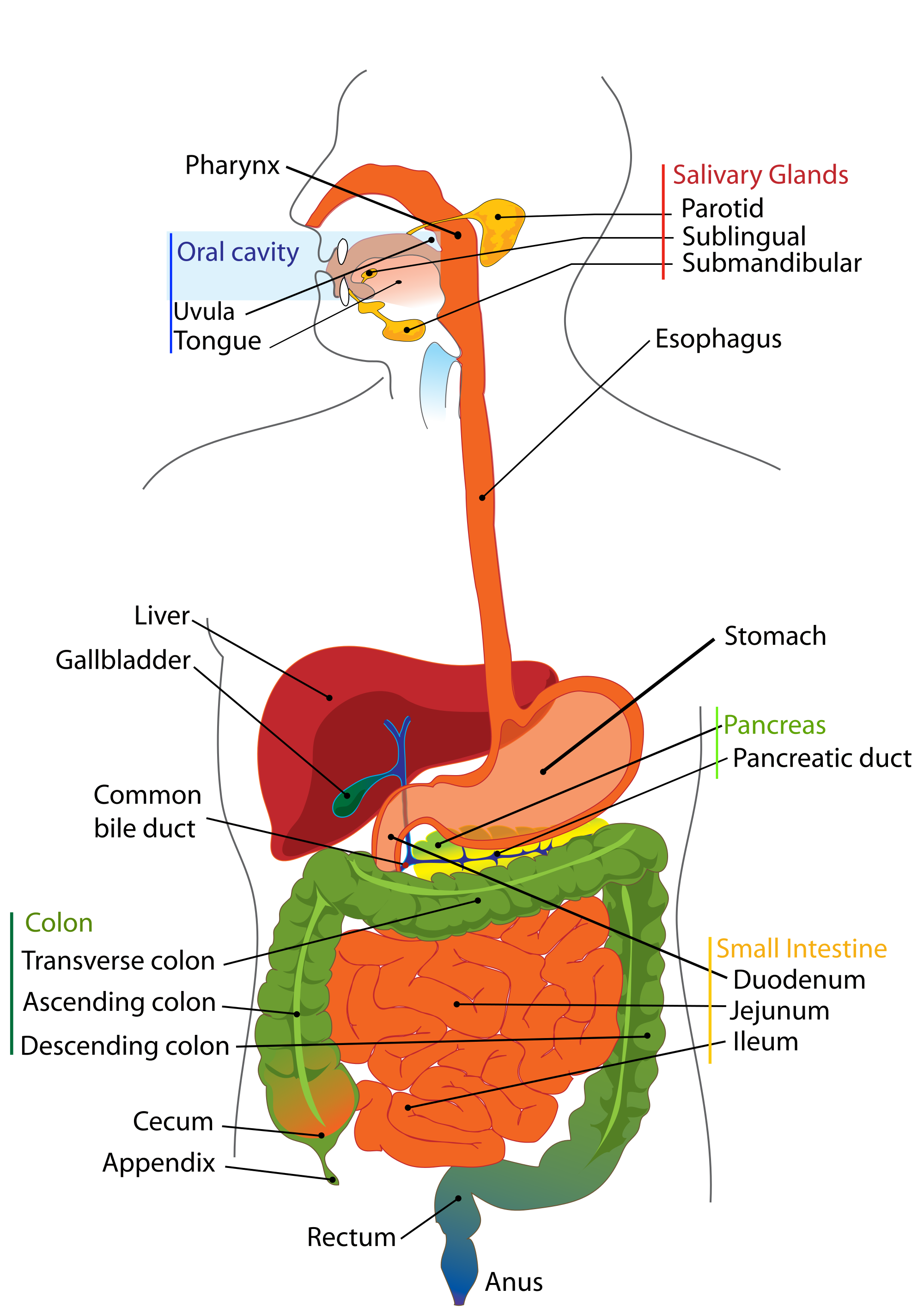 what is the order of digestive system and functions of each step, Human Body