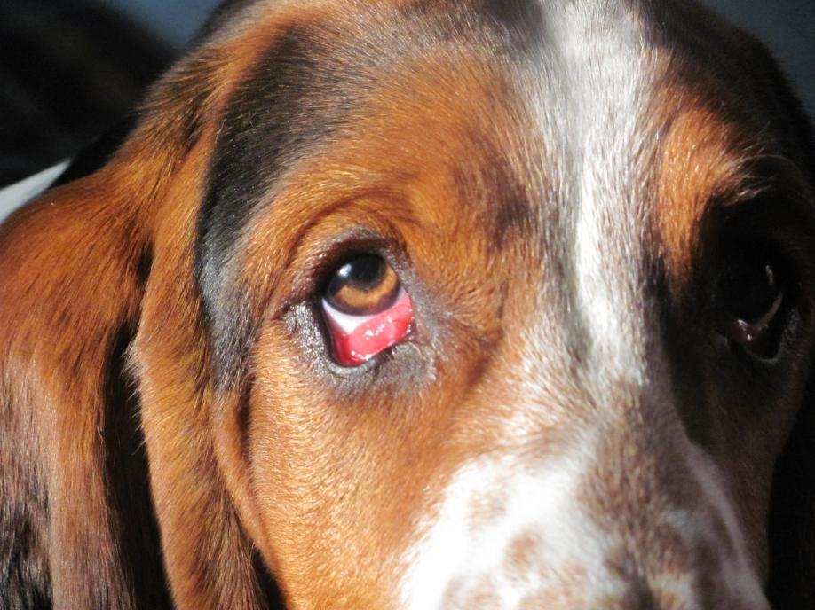 My Dogs Eyes Are Bloodshot And Droopy