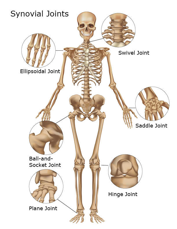 organs of skeletal system and their functions | new health advisor, Skeleton