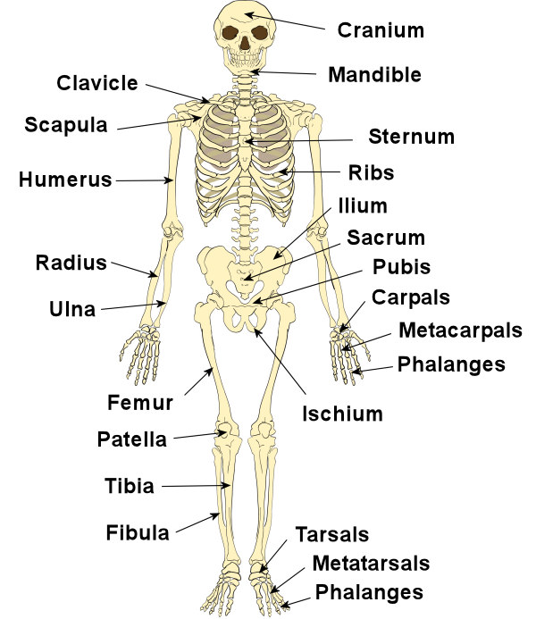organs of skeletal system and their functions | new health advisor, Human Body
