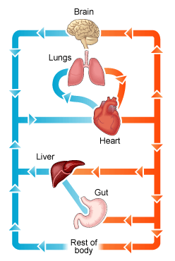 Heart on muscular system diagram