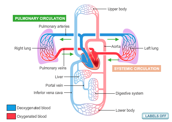 How does oxygenated blood flow to the heart? - Quora
