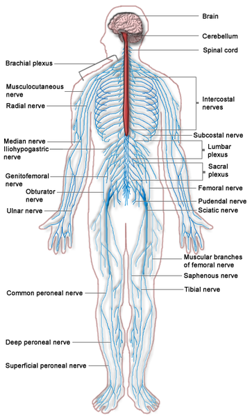 The Nervous System Theme Unit  Printables and Worksheets