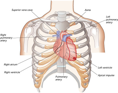 which side of chest is the heart on? | new health advisor, Human Body