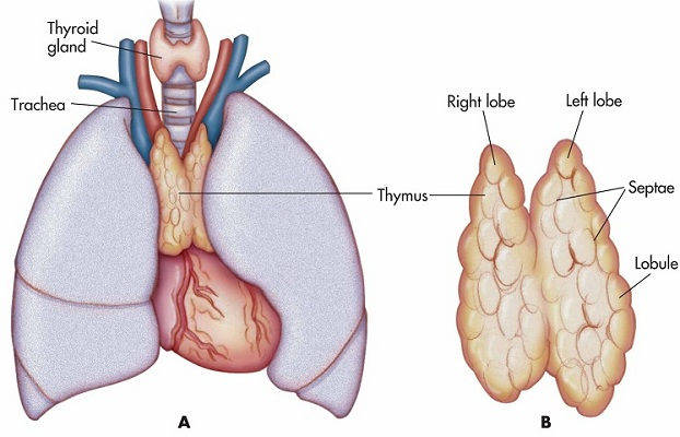 functions and disorders of thymus gland | new health advisor, Cephalic Vein