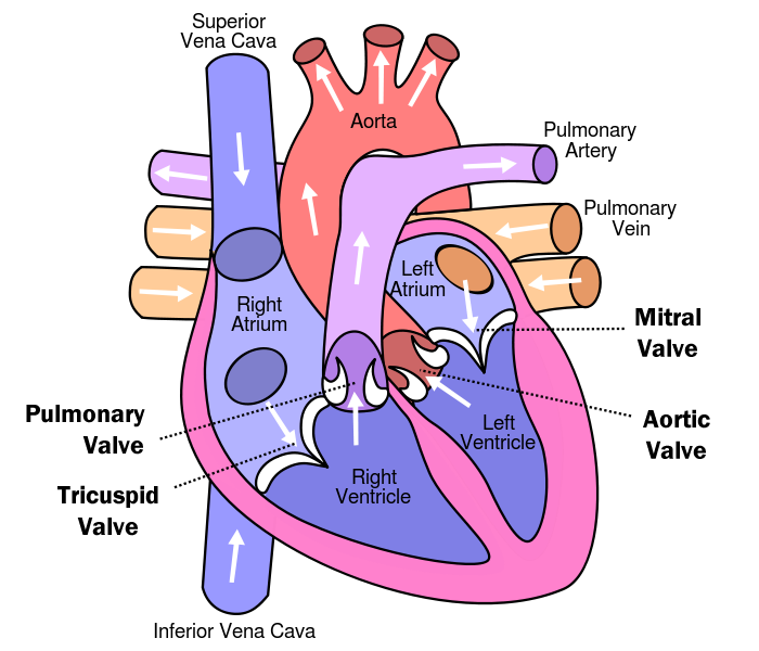 How Many Valves Are In The Heart