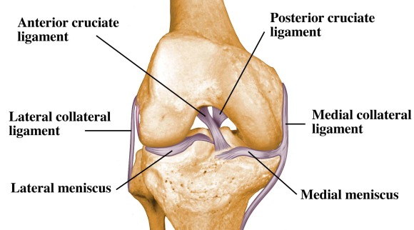 Ligaments Of The Knee Anatomy Injuries And Managements New