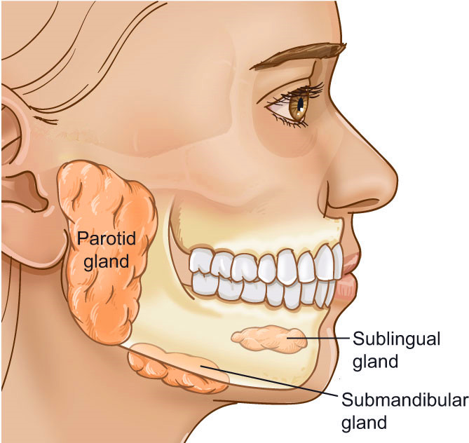 blocked salivary gland: causes, symptoms, treatment | new health, Skeleton