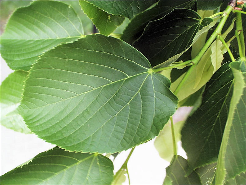 How To Use Slippery Elm For Constipation New Health Advisor