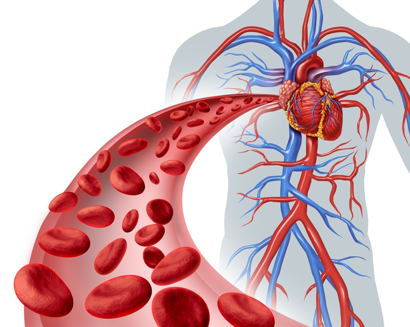interesting facts about the circulatory system | new health advisor, Human Body