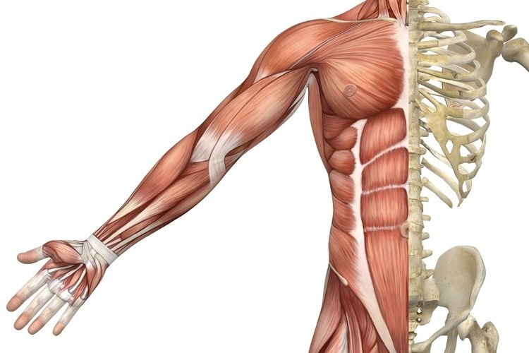 Muscular System Functions New Health Advisor