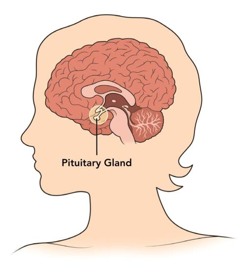 top 10 effective ways to stimulate pituitary gland | new health, Cephalic Vein