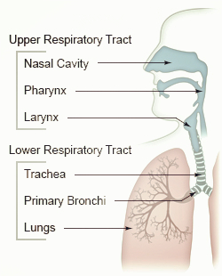 where is mucus in the upper respiratory tract produced? | new, Human Body