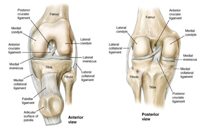 Knee structure romeondinez knee anatomy arthritis health knee structure ccuart Image collections