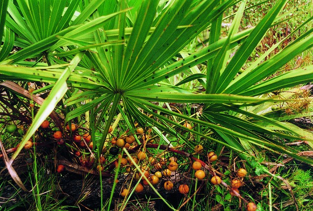 does saw palmetto work for hair loss new health advisor